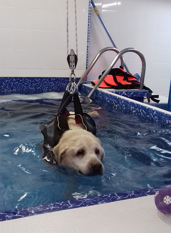 Buster is a 13 year old Labrador who suffers with arthritis, especially in his hind legs. Hydrotherapy helps ease the pain and soothes his arthritis.